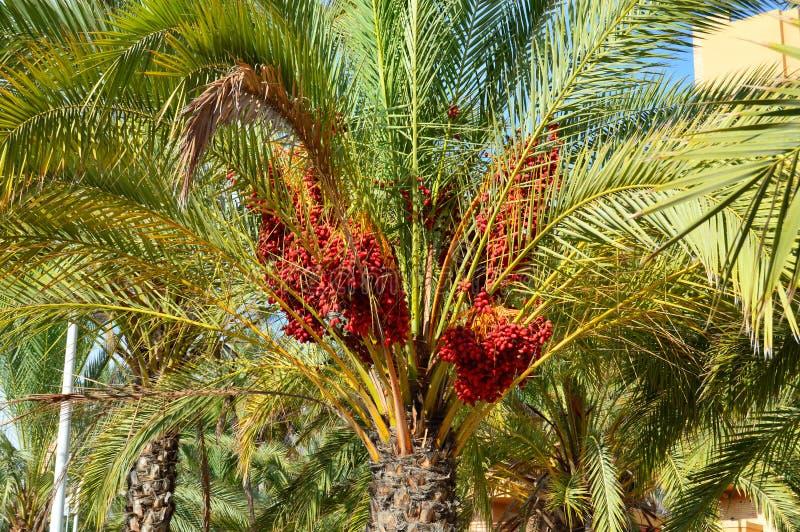 Een Rode Datumboom royalty-vrije stock afbeelding