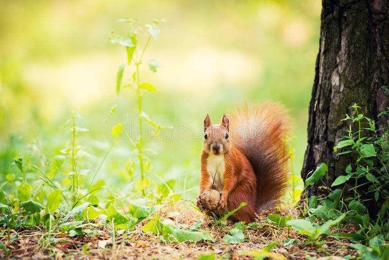Een rode eekhoorn bevindt zich dichtbij een boom met een noot stock afbeeldingen