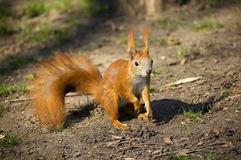 Een rode eekhoorn in een park ter plaatse stock afbeelding