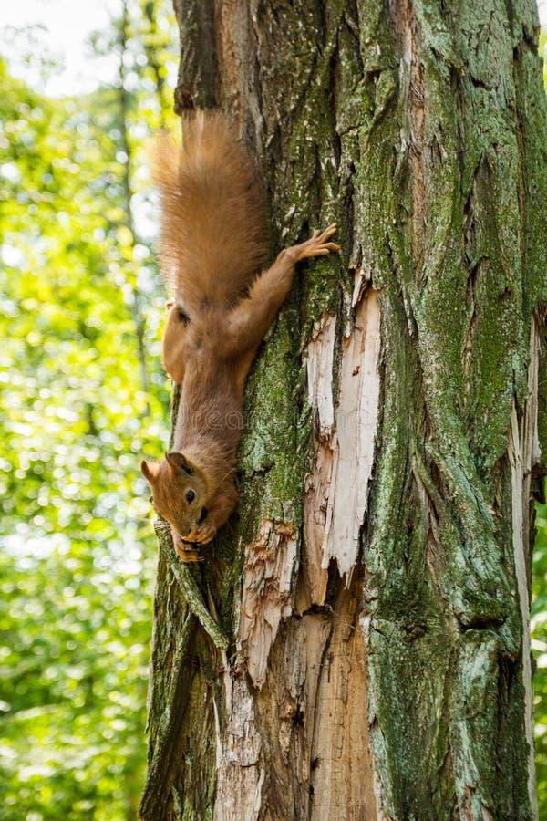 Een rode eekhoorn op een boom in het bos eet een noot, die zijn handen achter een boom clasping verticaal royalty-vrije stock afbeeldingen