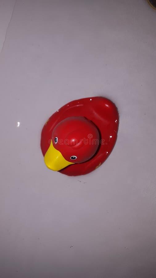 Een rode eend vergt ook een bad! stock foto's