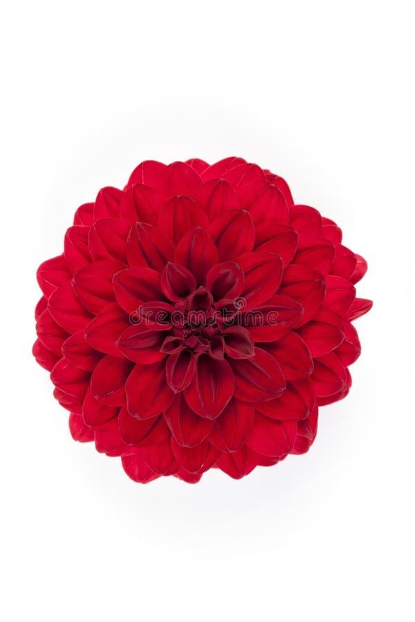 Een rode geïsoleerde bloem van Dalia royalty-vrije stock afbeelding
