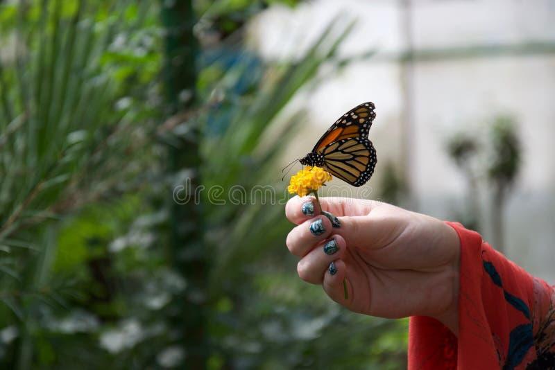 Een rode, gele en oranje vlinder met gesloten vleugels op een bloem in de hand van iemand royalty-vrije stock afbeelding