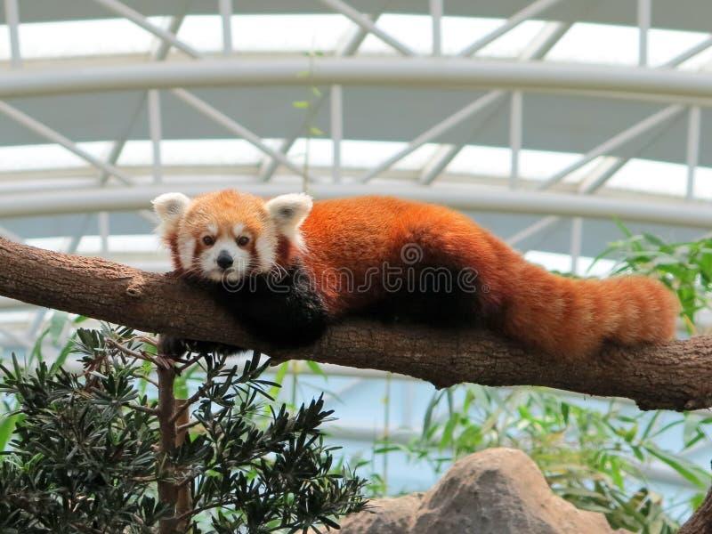 Een rode panda in gevangenschap die zich vastklampt aan een boomstam stock afbeeldingen