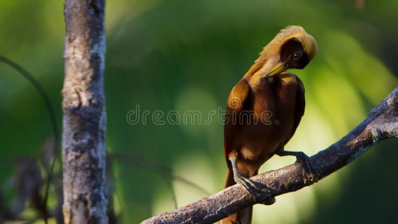 Een rode paradijsvogel vertoning in treetops Het wijfje zal selecteren welk mannetje haar luim neemt stock foto's