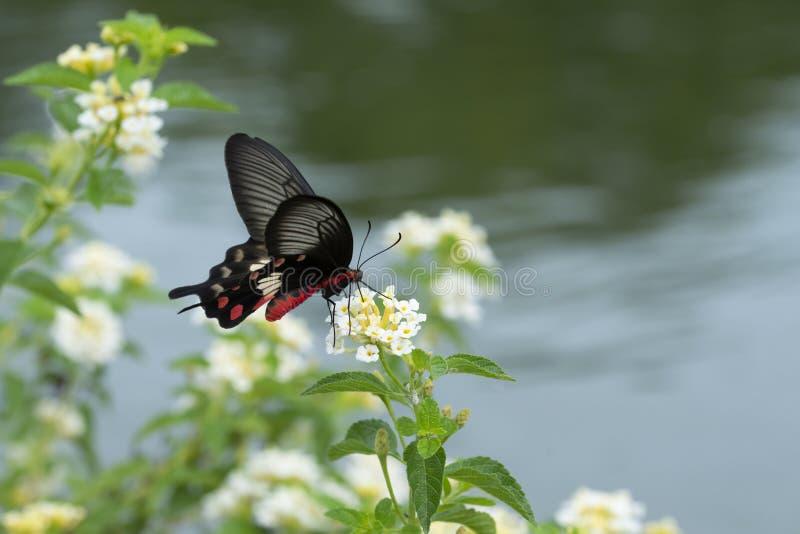 Een Rode Vlinder die op bloemen zwermen royalty-vrije stock afbeelding