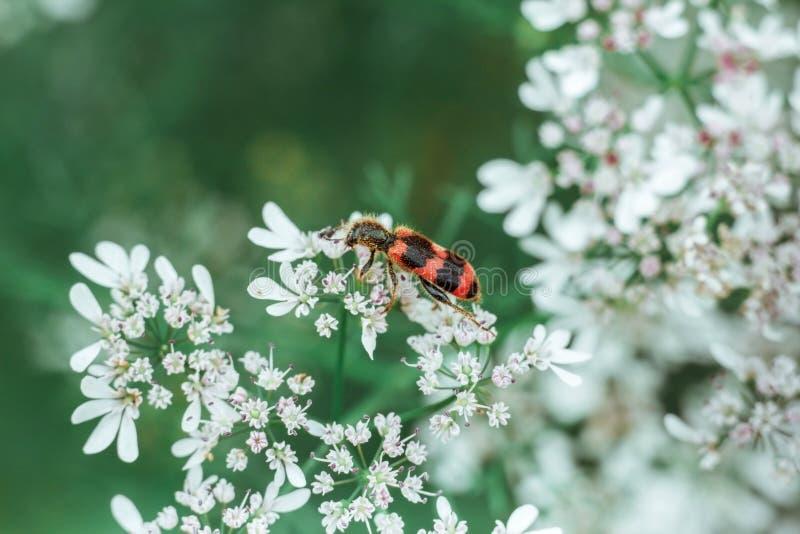Een rode zwarte gestreepte pluizige kever zit op een witte bloem op een groene vage achtergrond Trichodes of bijenkever Giftige I royalty-vrije stock foto