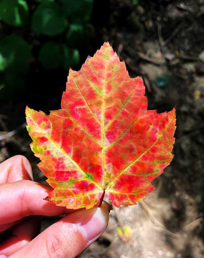 Een rood en geel blad van de amuresdoorn van Onderstel Willard Trail stock afbeeldingen