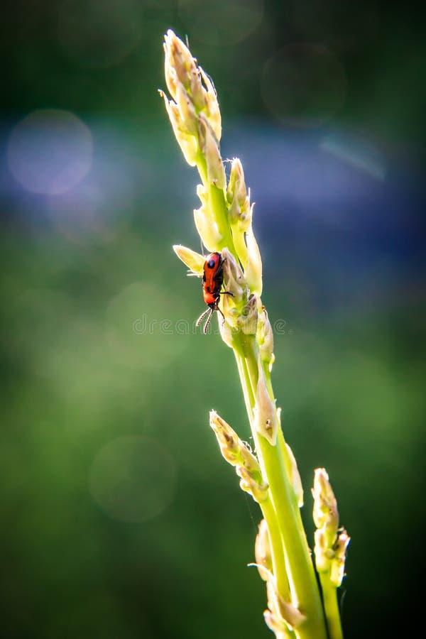 Een rood insect zit bovenop het groene gerichte installatie bespuiten tegen royalty-vrije stock foto