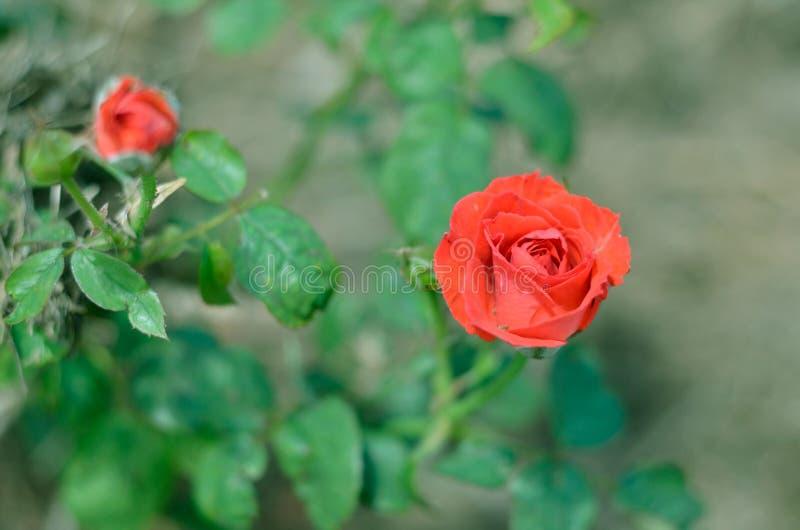 Een rood nam in aard toe is rood royalty-vrije stock foto's