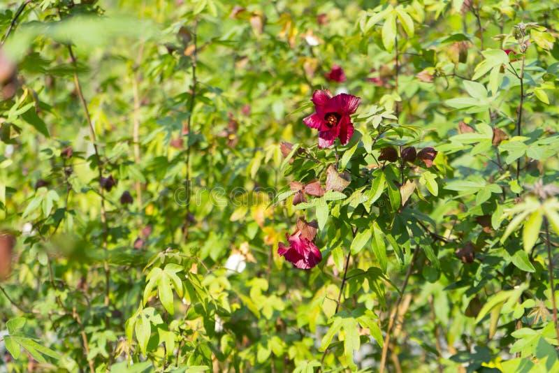 Een roodbruine volledig bloeibloem van katoenen boom stock afbeeldingen