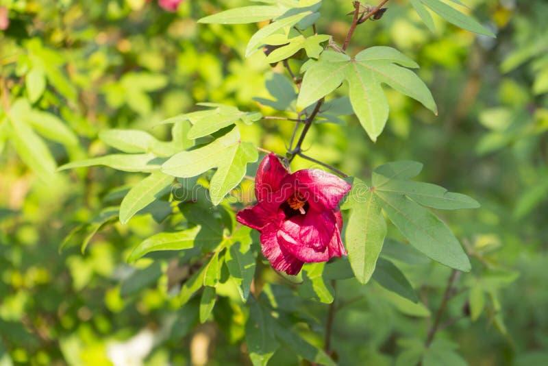 Een roodbruine volledig bloeibloem van katoenen boom royalty-vrije stock foto