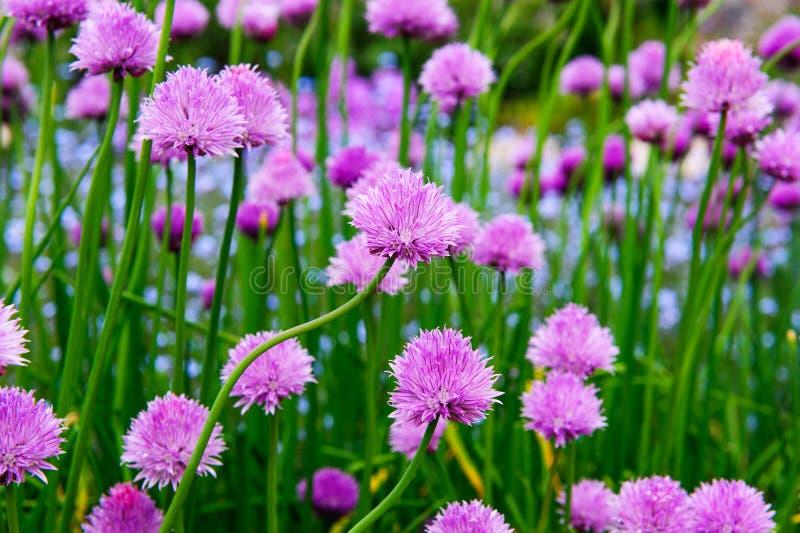 Een roze bloem van bieslook, Alliumschoenoprasum stock afbeelding