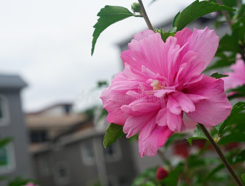 Een roze hibiscus stock afbeelding