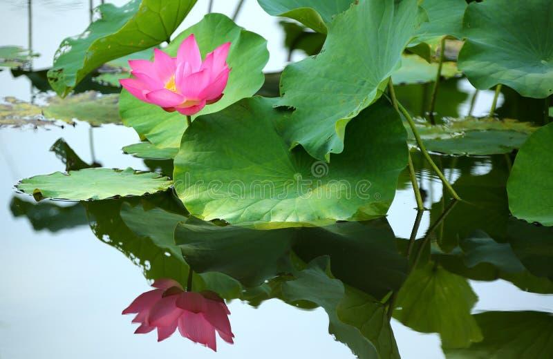 Een roze lotusbloembloem die onder weelderige bladeren in een vijver bloeien royalty-vrije stock fotografie