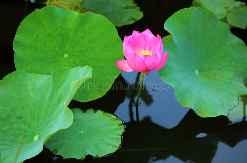 Een roze lotusbloembloem die onder weelderige bladeren in een vijver met bezinningen over het vlotte water bloeien stock afbeeldingen