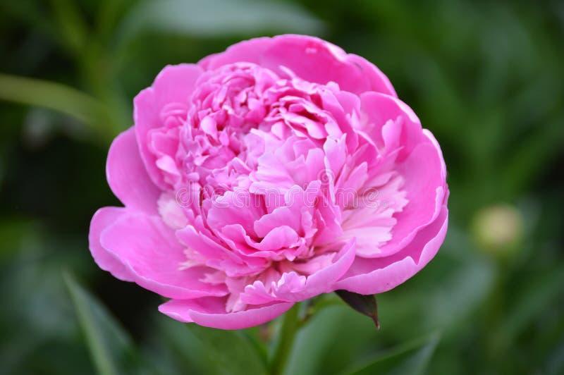 Een roze pioen stock afbeelding