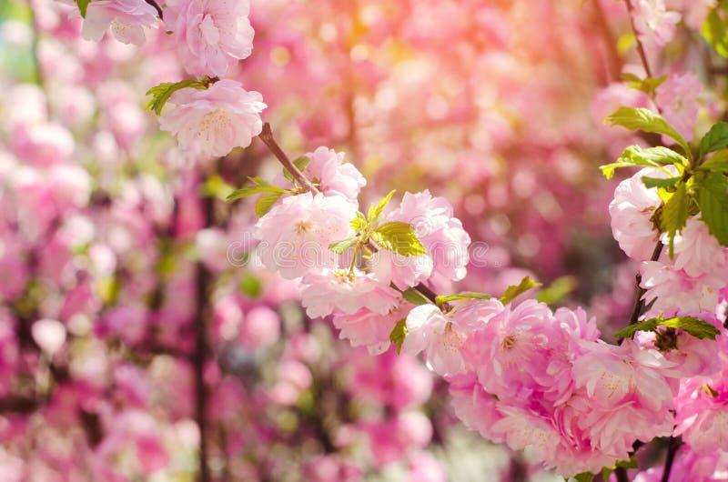 Een roze struik bloeit in de lente met roze bloemen Natuurlijk behang Achtergrond voor ontwerp Kersensakura royalty-vrije stock foto