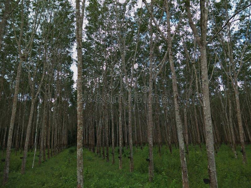 Een rubberboom in de tuin royalty-vrije stock foto