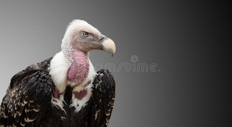 Een rueppellii van Ruppell ` s Griffon Vulture Gyps royalty-vrije stock afbeelding