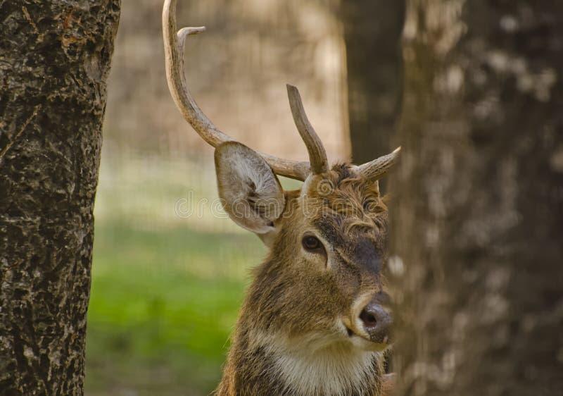 Een sambar hert stock afbeeldingen