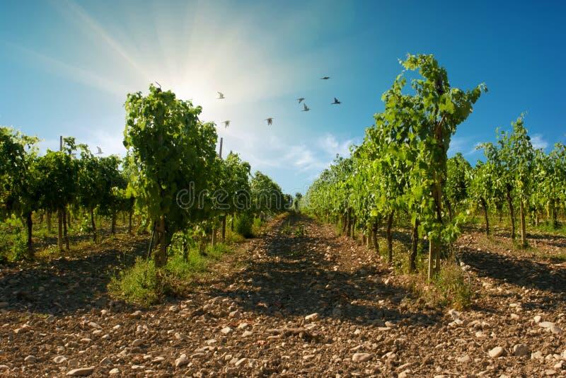 Een sangiovese wijngaard met blauwe hemelachtergrond met vogels in Valconca, Emilia Romagna, Italië stock fotografie