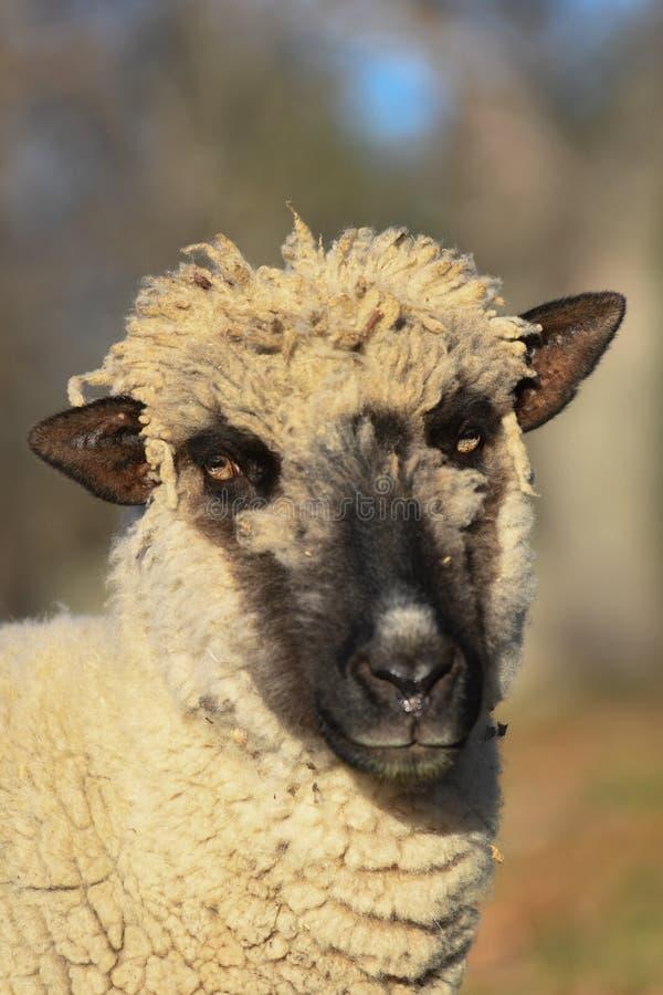 Een schaap in de vroege ochtend stock afbeeldingen