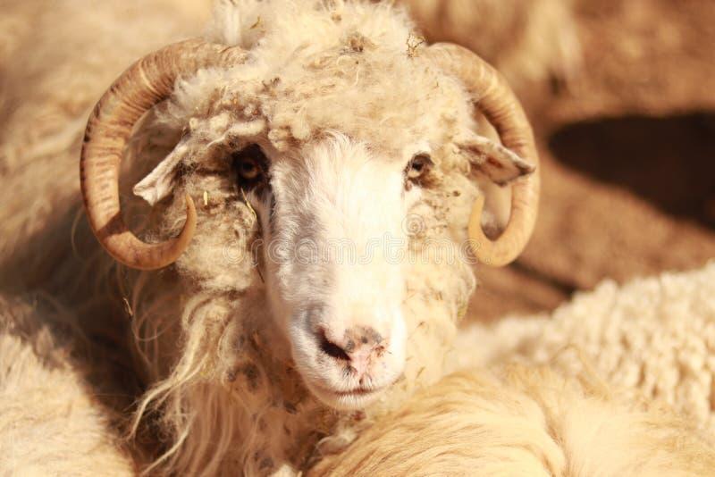 Een schaap die voedsel zoeken stock foto