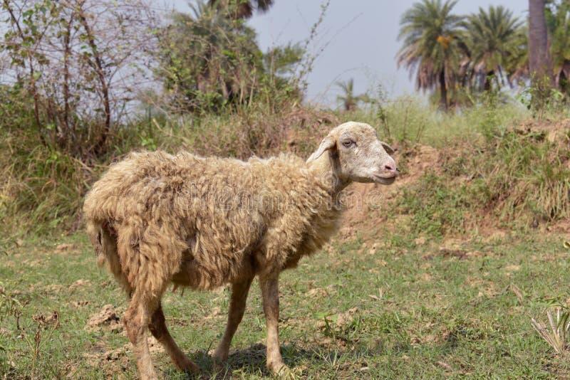 Een schaap die zich in de grond bevinden royalty-vrije stock afbeelding