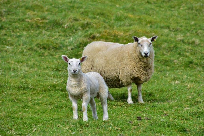 Een schaap en haar lam royalty-vrije stock afbeelding