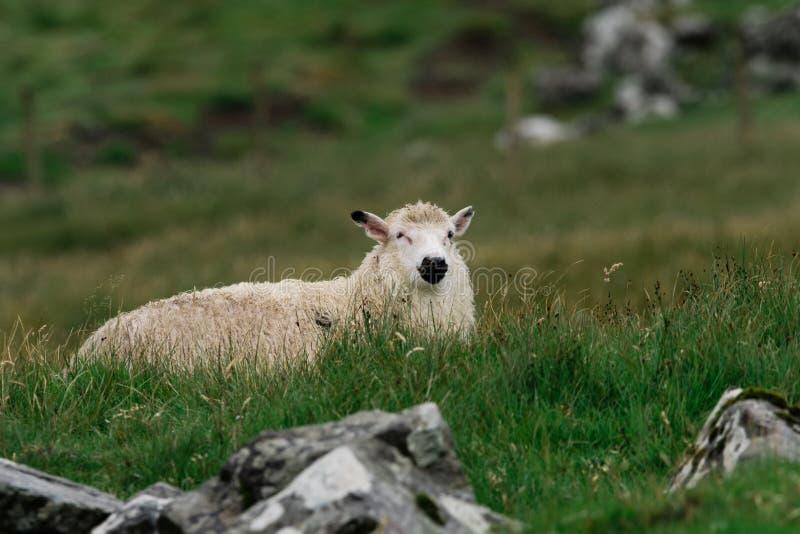 Een schaap kijkt rond het eten van gras op de Faeröer royalty-vrije stock foto
