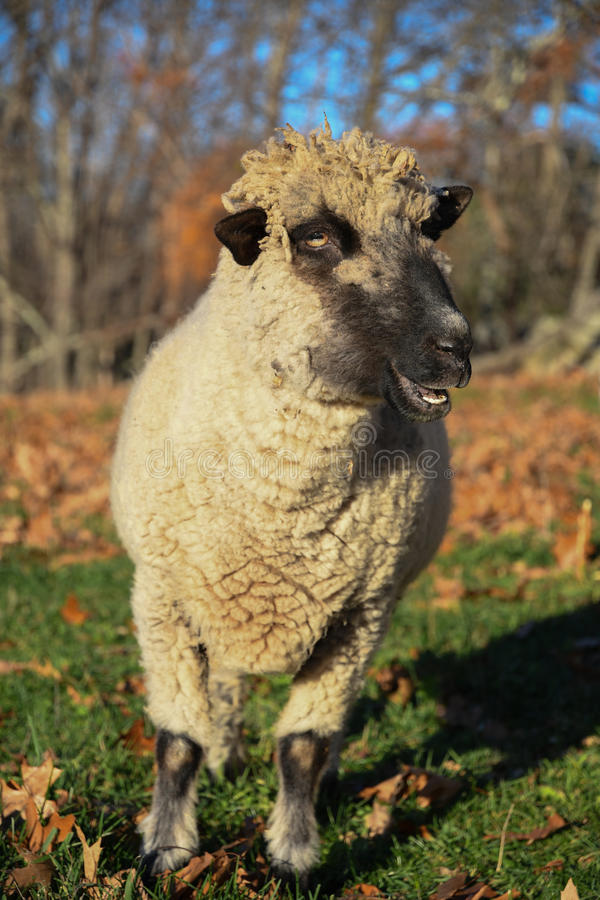 Een schaap op een gebied in de vroege ochtend stock foto