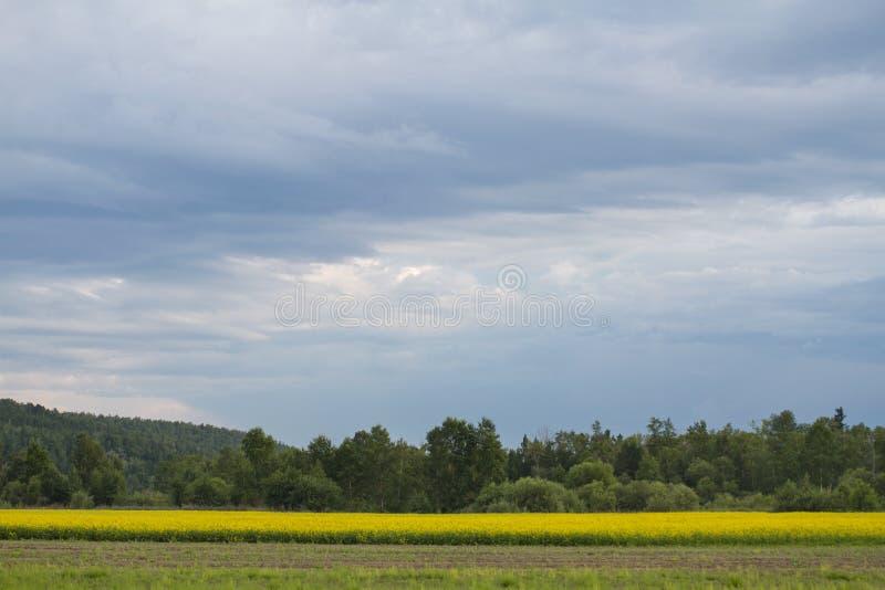 Een schilderachtig gebied met gele wilde bloemen op een berg bos naaldachtergrond en een blauwe mooie heldere hemel royalty-vrije stock afbeelding