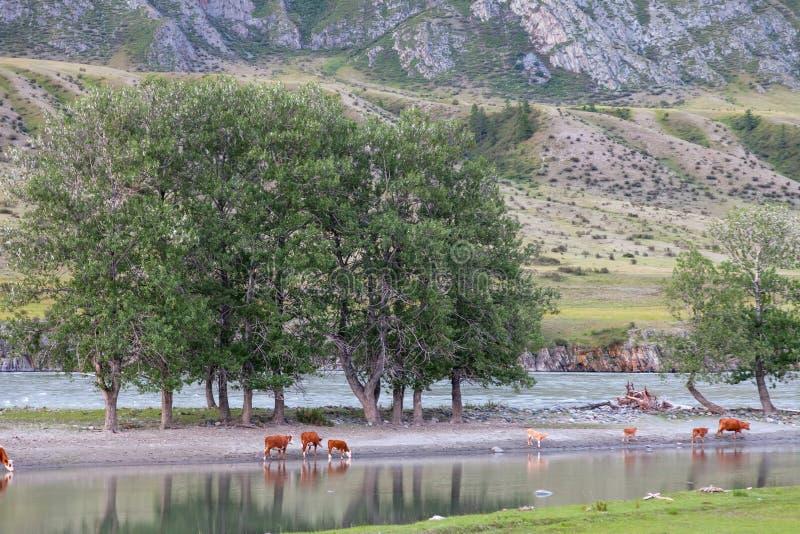 Een schilderachtige plaats in de bergen met een meer of een rivier waarin de rots en de groene bomen, koeien drinkwater worden we stock foto