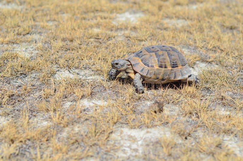 Een schildpad op droog gras in de zomer in Turkije stock afbeelding