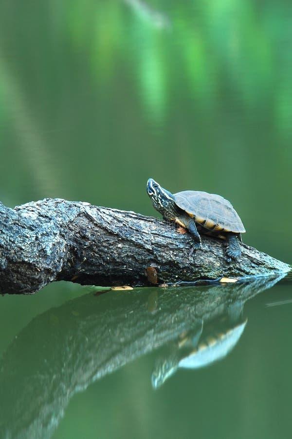Een schildpad op een logboek stock foto's