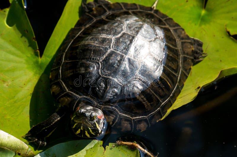Een schildpad rust op een blad in het meer, in de zon stock foto's