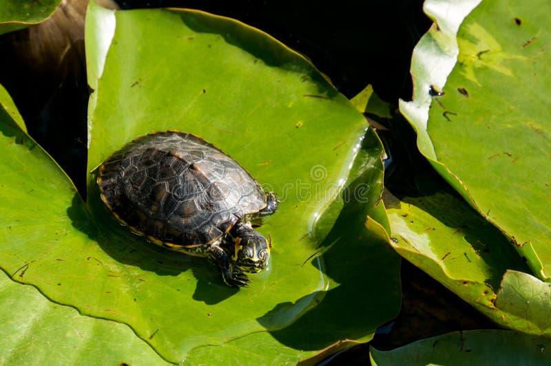 Een schildpad rust op een blad in het meer, in de zon stock afbeeldingen