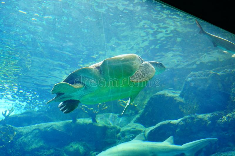 Een schildpad zwemt royalty-vrije stock foto's