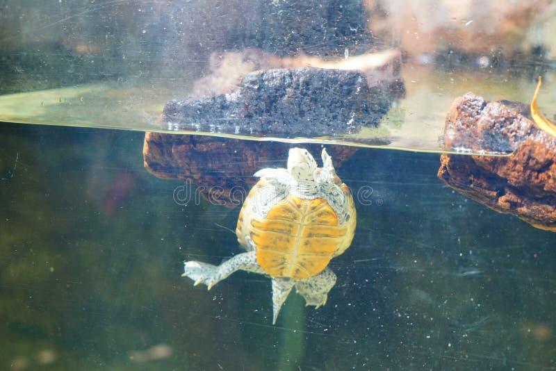 Een schildpad zwemt stock foto's