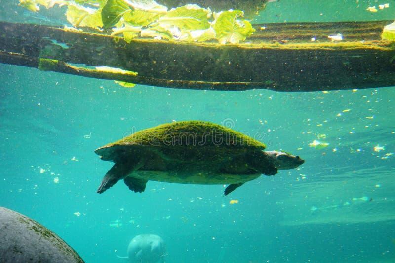 Een schildpad zwemt stock afbeelding