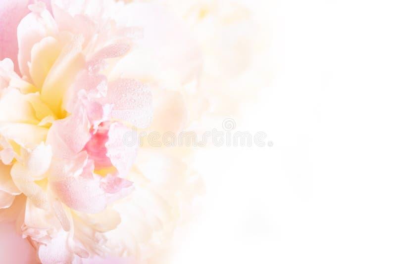 Een schitterende bloemenachtergrond met gevoelige bloemblaadjes van een bloeiende pioen royalty-vrije stock afbeelding