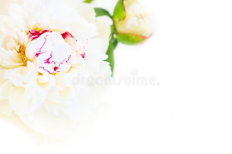 Een schitterende bloemenachtergrond met gevoelige bloemblaadjes van een bloeiende pioen royalty-vrije stock foto