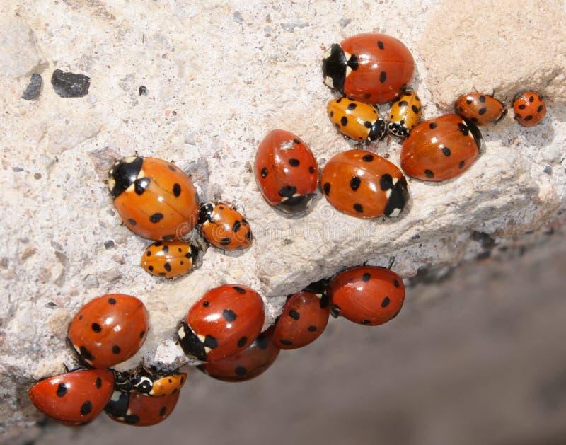 Een Schoonheid van Lieveheersbeestjes royalty-vrije stock afbeeldingen