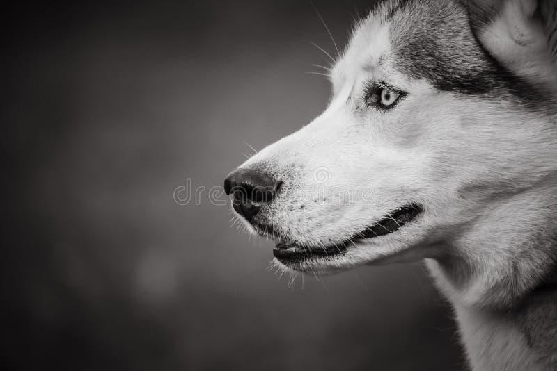 Een schor hond in zwart-wit op een vage artistieke achtergrond stock afbeeldingen
