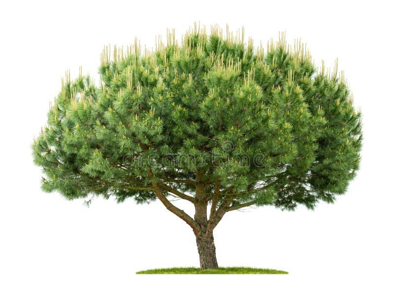 Een scots pijnboom op een witte achtergrond royalty-vrije stock fotografie