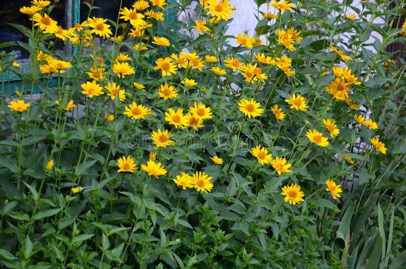 Een serie van gele bloemen tegen de achtergrond van een oud huis royalty-vrije stock foto's
