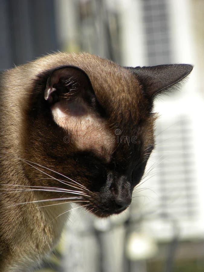 Een Siamese en kat die sluimeren zonnebaden stock foto