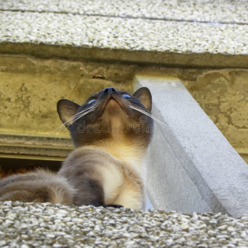 Een Siamese kat wordt gezien die van onderaan stock foto