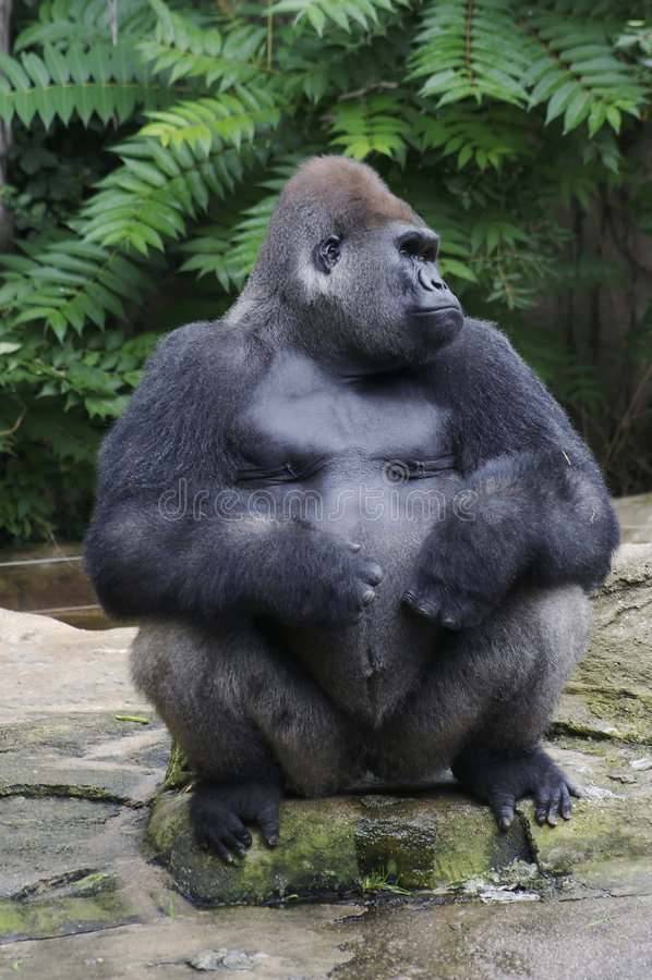 Een silverbackgorilla stock foto's